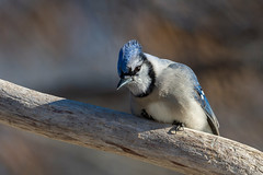 Cold Blue Jay-45446.jpg (Mully410 * Images) Tags: jay birdwatching birding backyard bird birds bluejay birder cold
