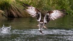 Horn Mill Osprey (Stevie Borowik Photography) Tags: horn mill exton rutland england wildlife rsppb bird of prey fishing osprey duck kingfisher canon 5dmkiii 7dmkii sigma 120300mm 70200mm f28 uk