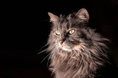 Magnifique low key de Loki (uluqui) Tags: canon 6d sigma 50mm cat animal portrait kitty lowkey mainecoon color