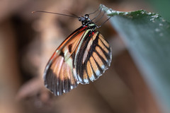 magicwings2019-18 (gtxjimmy) Tags: sonya7ii sony alpha a7ii butterflies butterfly insect bug magicwings deerfield massachusetts newengland