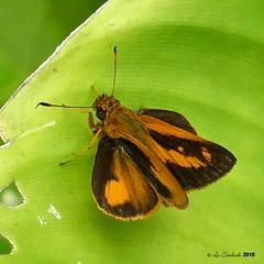 Anthoptus epictetus (LPJC) Tags: skipper butterfly panama 2018 lpjc quebradagarza anthoptusepictetus