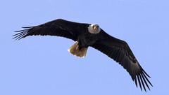 Bald Eagle approaching....6O3A1202CR2A (dklaughman) Tags: blackwaternwr baldeagle eagle maryland bif