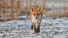 Red Fox (KHR Images) Tags: redfox red fox vulpesvulpes wild mammal cambridgeshire fens eastanglia wildlife nature winter snow nikon d500 kevinrobson khrimages