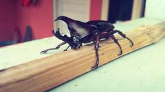 Kumbang Badak Jepang / Trypoxylus dichotomus (setiawanap) Tags: setiawanap setiawanapvlog indonesia binatang animals wildlife kumbang badak jepang kumbangbadakjepang rhinoceros beetles