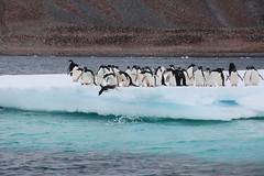 IMG_3551 (y.awanohara) Tags: adelie adeliepenguins penguins antarctica antarcticpeninsula wildlife january2019 icebergs ice icefloes