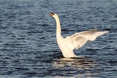 IMG_2462 (LezFoto) Tags: swan mute cygnusolor loirstonloch aberdeen scotland unitedkingdom canoneos700d sigma 700d canon 120400mmf4556dgapooshsm digitalslr dslr canonphotography sigmalens wings