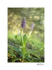 Barlia Robertiana (Swirly Bokeh) (g.femenias) Tags: barliarobertiana wildorchid nature naturallight ambientphotography helios44258mmf2 bokeh swirlybokeh bonany petra mallorca