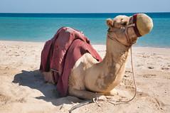 Khor Al Adaid, Qatar {Explore} (fisherbray) Tags: fisherbray qatar stateofqatar دولةقطر dawlatqatar alwakrah بلديةالوكرة baladīyatalwakrah khoraladaid khoraludeid khawraludayd خورالعديد inlandsea naturereserve unesco nikon d5000 qatarinternationaladventures qia camp beach persiangulf arabiangulf water wasser camel dromedary camelusdromedarius arabiancamel