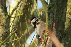 Great spotted woodpecker (marksargeant57) Tags: canonpowershotsx60hs treebark treetrunk tree bird withamwaycountrypark woodpecker greatspottedwoodpecker