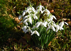 Snowdrops (linda.addis) Tags: ourdailychallenge odc change springflowers spring flickrlounge signsofspring weeklytheme