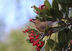 A juicy berry! (avilacats) Tags: feeding toyonberries cuestapark cedarwaxwings