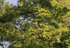 Streak-backed Oriole (jd.willson) Tags: jd willson jdwillson nature wildlife birds birding playa flamingo costa rica streakbacked oriole