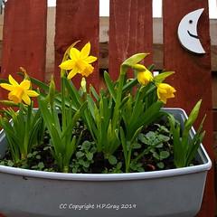 Spring Flowers 2 (Shug1) Tags: flower petitedaffodils inmygarden