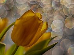 Tulpenfieber (BeMo52) Tags: blume bokeh bubbles flora flowers frühjahr garten macro makro natur nature pentaconauto50mmf18mc spring tulip tulpe