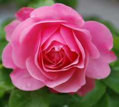 It's Very Rare for a Rose to Feel Off Colour! (antonychammond) Tags: rose pink pinkrose garden flower familyrosaceae genusrosa contactgroups thegalaxy flowerarebeautiful doublefantasy thebestofmimamorsgroups