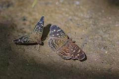 butterflies 2 (ikarusmedia) Tags: insects butterflies closeup zoom macro wings patterns soil cuernavaca morelos san anton apatlaco river mexico animals