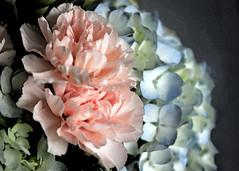 Birthday bouquet (tmattioni) Tags: arrangement flower florist carnations hydrangeas watercolor elements fragrance