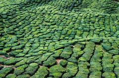 Tea waves (Cédric Nitseg) Tags: malaisie travelling backpacker nikon malasia travel vert green thé voyage cameronhighlands d7000 plantation tea greelow