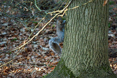 Tree Climber (nickstone333) Tags: squirrel woods tree branches whippendellwood nikon nikond7100 d7100