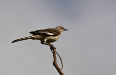 Northern Mockingbird (Mimus polyglottos) (Kremlken) Tags: hurricanemaria mockingbirds birds birding birdwatching neotropical nikon500