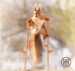 Red squirrel standing on top of stilts (Geert Weggen) Tags: squirrel red animal backgrounds bright cheerful close color concepts conservation culinary cute damage day earth environment environmental equipment love valentine flower winter snow stilts balance bispgården jämtland sweden geert weggen hardeko ragunda