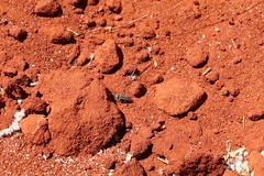 Crabronidae Bembicinae>Bembix Sand Wasp IMG0862 (Bill & Mark Bell) Tags: geo:town=exmouth geo:state=westernaustralia geo:country=australia geo:lon=11425453egeolat2217752sgeoalt8m 11425453e2217752salt8m taxonomy:kingdom=animalia taxonomy:phylum=arthropoda taxonomy:class=insecta taxonomy:order=hymenoptera taxonomy:family=crabronidae taxonomy:subfamily=bembicinae taxonomy:genus=bembix taxonomycommonnamepredatorysandwasp