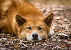 (Laszlo Papinot) Tags: animals healsville zoo zoosvictoria healsvillesanctuary dingo sad sadeyes eyes dargo