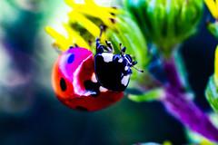 coccinelle 4 (joel.queyrel) Tags: coccinelle ladybird
