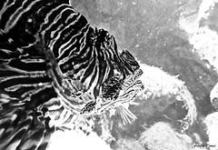 Selfish !!! (François Tomasi) Tags: poisson branchies fish animal reflex nikon noiretblanc blackandwhite monochrome françoistomasi tomasiphotography justedutalent yahoo google flickr black white noir blanc numérique digital eau water mer sea aquarium aquariumdelarochelle larochelle charentemaritime sudouest france french dark sombre europe poitoucharentes pointdevue pointofview pov photo photographie photography photoshop lr 17000 2019 océan atlantique lights light lumière iso filtre mars