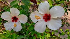 White Hibiscus (gerard eder) Tags: world travel reise viajes europa europe españa spain spanien flowers flores flora blumen hibiscus park parque outdoor garden green jardines jardinesdelturia