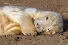 Sleepy Head (Maria-H) Tags: donnanook england unitedkingdom gb greyseal halichoerusgrypus pup lincolnshire uk olympus omdem1markii panasonic 100400