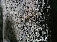 hiding (Phil Arachno) Tags: vietnam nationalpark spider spinne arachnida chelicerata arthropoda