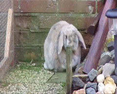 Polly having fun in the backyard (eveliensbunnypics) Tags: bunny rabbit lop lopeared polly outdoor outside backyard patio video playing exploring chinning binky binkies binkying tunnel tube bucket sniffing curious