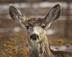 Mule Deer Portrait (Buck) (wfgphoto) Tags: muledeer buck portrait stare light