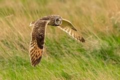 Owl series #6 (Trev Green) Tags: nikon sigma d500 owl bird parkgate wirral