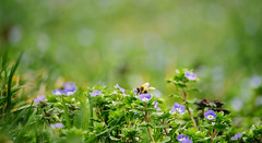 Tiny blue flowers and a bee (Inka56) Tags: crazytuesday flowers blue blueandgreen bee spring earlyspringsigns insect grass green lawn wildflowers tiny
