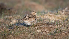 Skylark (JS_71) Tags: nature wildlife nikon photography outdoor bird new spring see natur pose moment outside animal flickr colour poland sunshine beak feather nikkor d500 wildbirds planet global national wing eye watcher 600mm