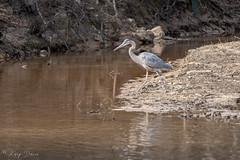 FM5A0298 (Kemp Davis) Tags: wildlife nature aquaticbird greatblueheron