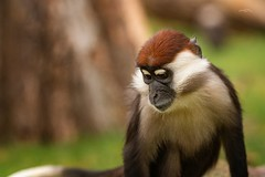 Collared Mangabey (THW-Berlin) Tags: sony alpha6500 sigma 135art tiere animals primates affen mammals nature critters