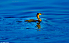 Scotland Greenock a cormorant that has just surfaced from diving for a fish 26 February 2019 by Anne MacKay (Anne MacKay images of interest & wonder) Tags: scotland greenock sea seabird cormorant 26 february 2019 picture by anne mackay