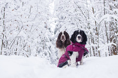 Muikku & Jiippi (Veden valamia 2.0) Tags: english springer spaniel puppy winter snow
