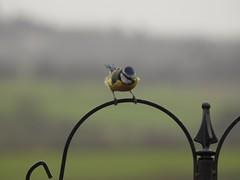 Blue tit (Simply Sharon !) Tags: bluetit bird gardenbird wildlife britishwildlife nature inthegarden gardenvisitor march