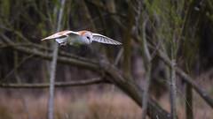Barn owl (David Brooker) Tags: barn owl bird flying
