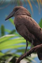 G08A0630.jpg (Mark Dumont) Tags: bird zoo mark dumont cincinnati