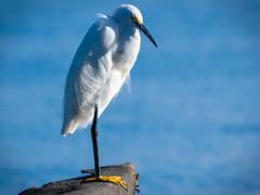 Observant Snowy Egret (Egretta thula), Haiti (MikeM_1201) Tags: snowyegret haiti mangrove water bird nature wildlife pier bos morning d500 stationary
