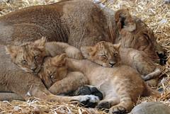 asiatic lion Blijdorp 094A0184 (j.a.kok) Tags: animal asia azie asiaticlion aziatischeleeuw blijdorp mammal zoogdier dier predator leeuw lion pantheraleopersica