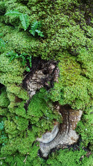 Ferns & moss on oak, Glasdrum National Nature Reserve (Niall Corbet) Tags: scotland argyll glasdrum nationalnaturereserve nnr moss green fern oak quercus