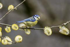 just a touch of face powder (Yvonne Alderson) Tags: bird bluetit pollen spring catkins codurham hardwick park pollinator yvonnealderson yvonne