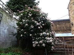 DSC00005 (PeaTJay) Tags: sonydschx90 zeiss england uk gb london chiswick macro micro closeups gardens outdoors nature flora fauna plants shrubs bushes flowers