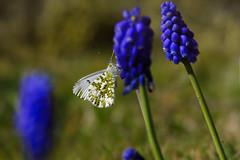 DSC_1863 (kryztophe) Tags: papillon